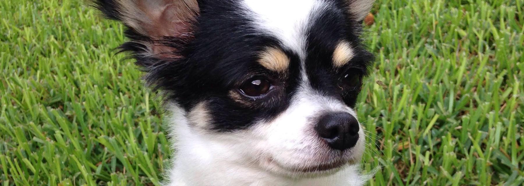 Ay Chihuahua Rescue